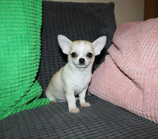 chihuahua puppies for sale in nc chihuahua puppies for sale north carolina 54 nc 175687 2024