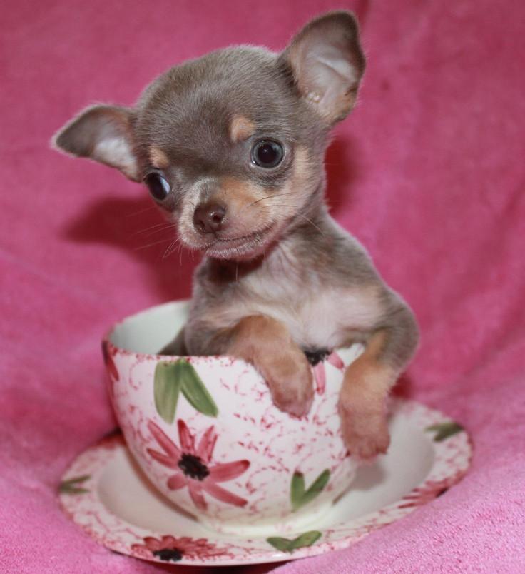 Chihuahua Puppies For Sale Illinois 59 Il 187338