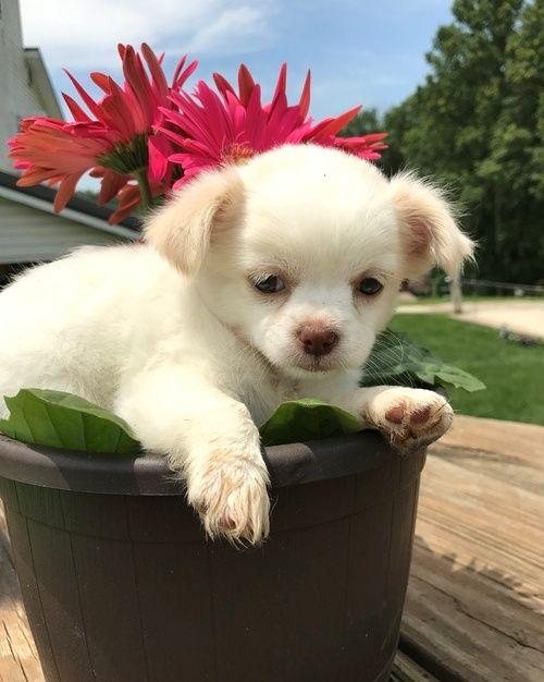 Chihuahua Puppies For Sale Atlanta Ga 218007 Petzlover
