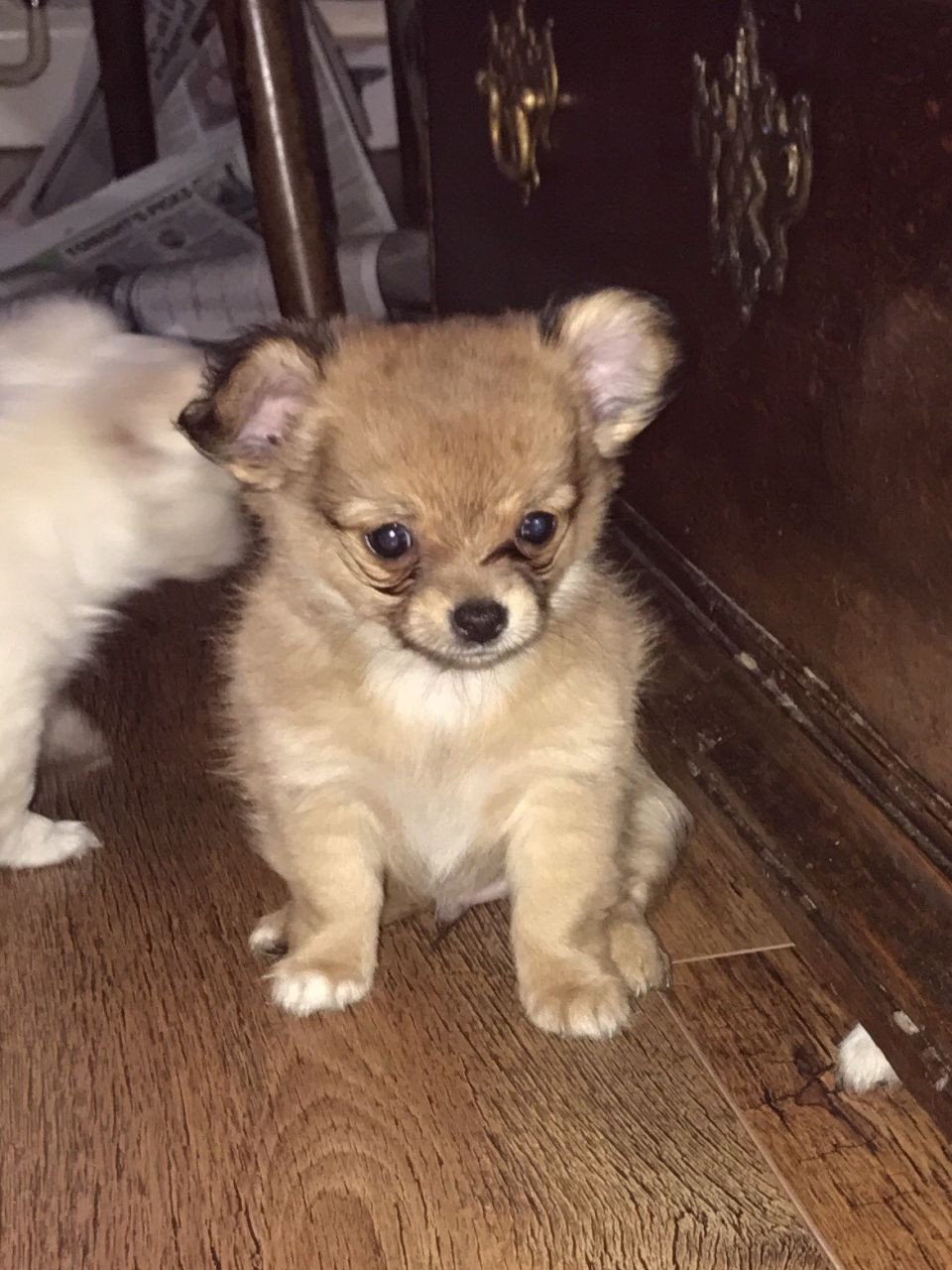 chihuahua puppies michigan chihuahua puppies for sale detroit mi 218327 petzlover 5777