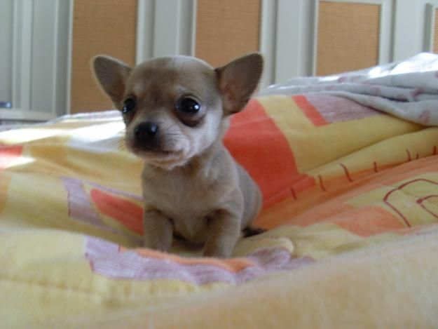 Iowa Teacup Chihuahua Puppies For Sale - Tcup, Toy and ...