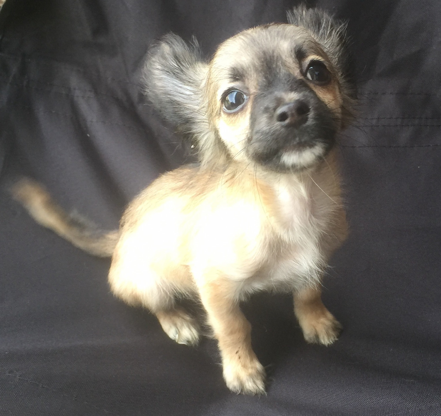 Chihuahua Puppies For Sale Loganville Ga 238898