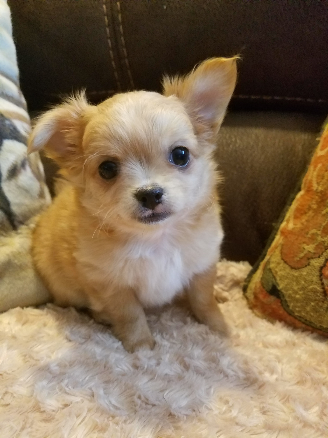 chihuahua for sale in pa chihuahua puppies for sale new alexandria pa 245517 9219