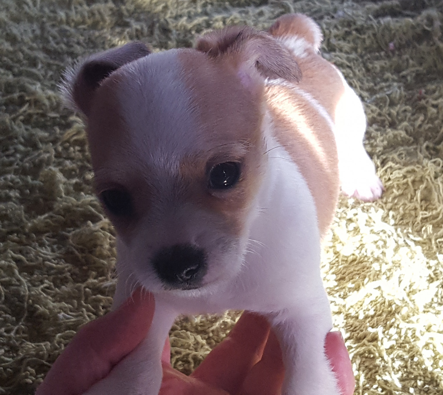 Chihuahuas for Sale in Iowa City, IA | Dogs on Oodle ...