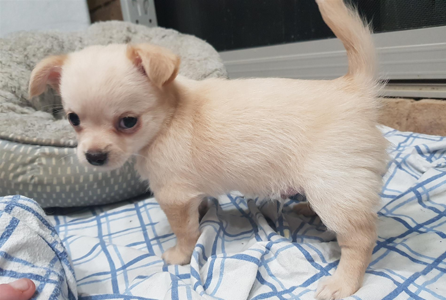 Chihuahua Puppies For Sale | Las Vegas, NV #254035