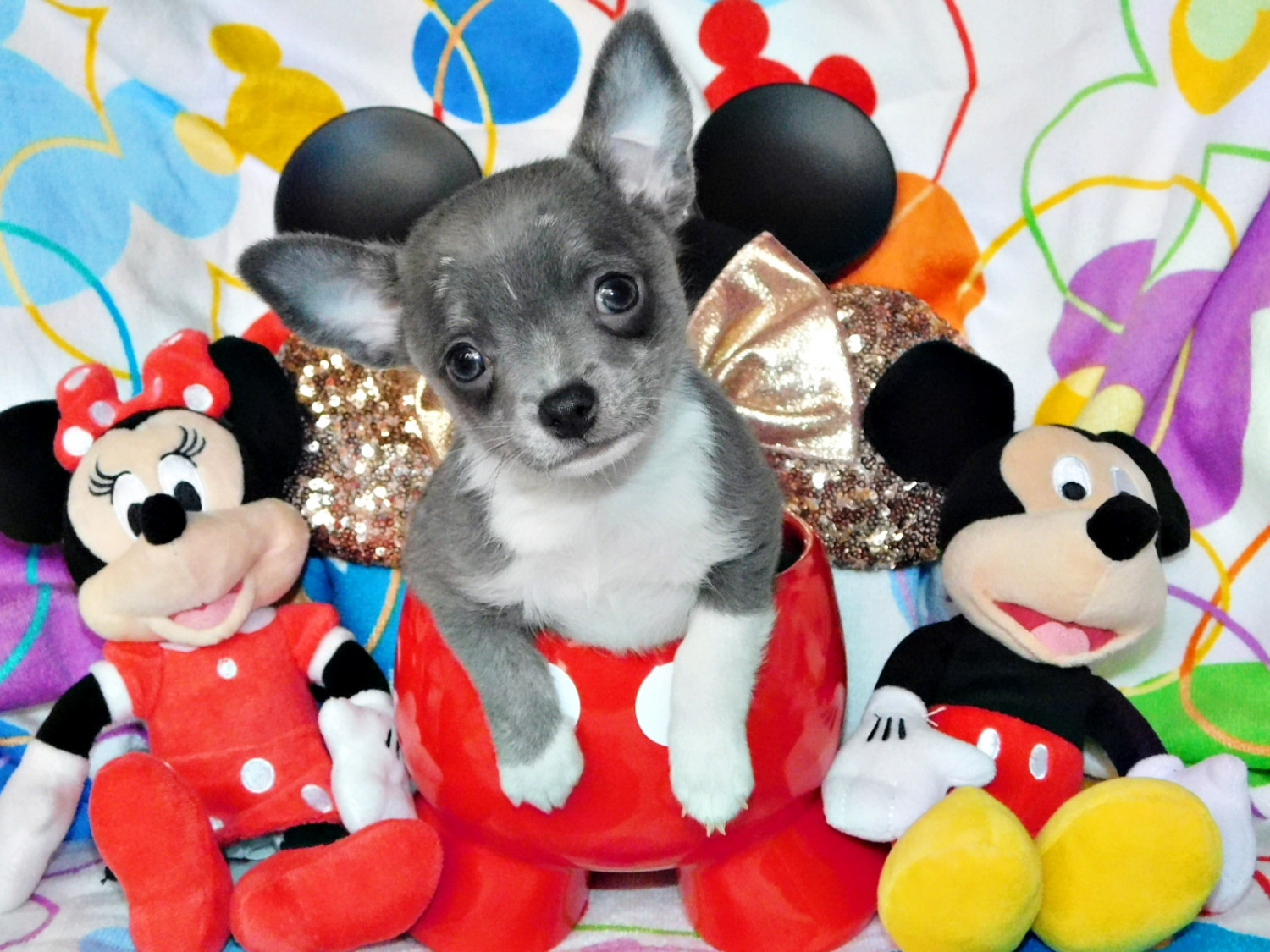 Rose Glen North Dakota ⁓ Try These Chihuahua Puppies For Sale In