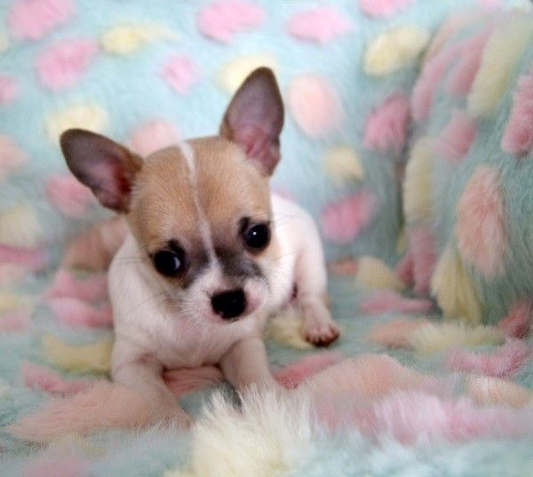 chihuahua for sale in pa chihuahua puppies for sale pittsburgh pa 281201 4224