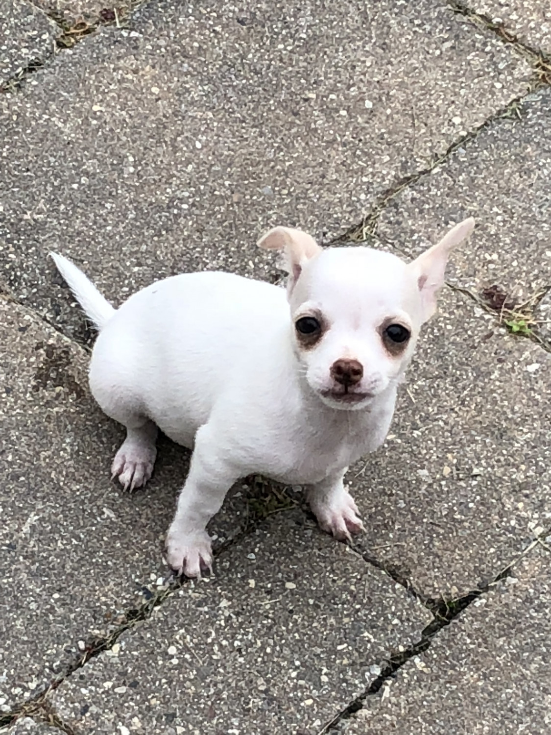 chihuahua puppies michigan chihuahua puppies for sale clinton township mi 283468 4497