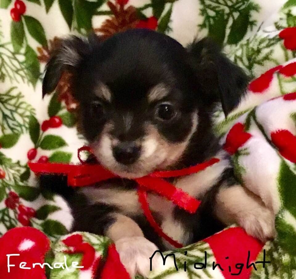 Chihuahua Puppies For Sale Belleville Mi 287279