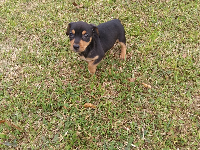 Chihuahua Puppies For Sale Statesboro Ga 290961