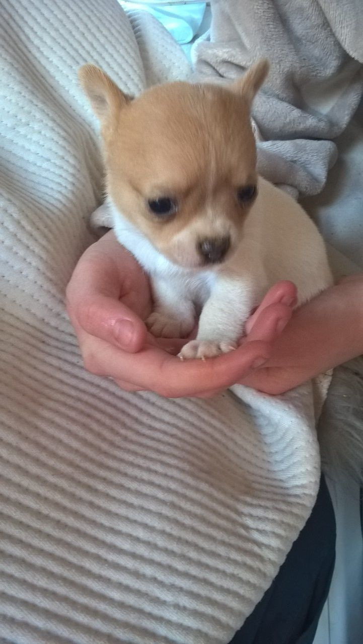 chihuahua puppies for sale in sc chihuahua puppies for sale columbia sc 295981 4759