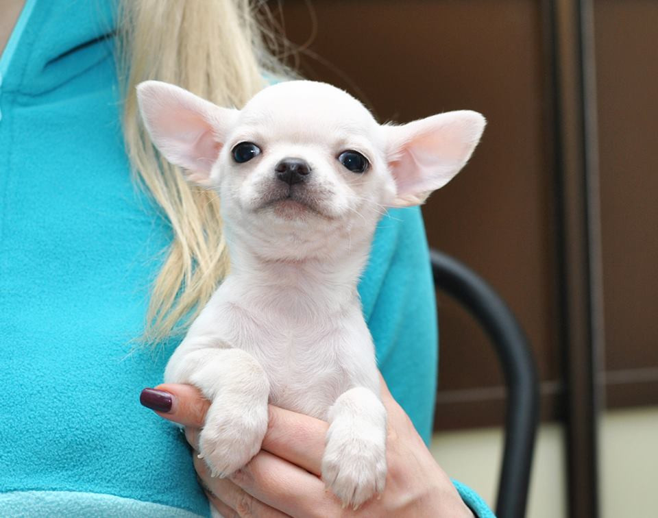 chihuahua puppies for sale in sc chihuahua puppies for sale columbia sc 295981 6089