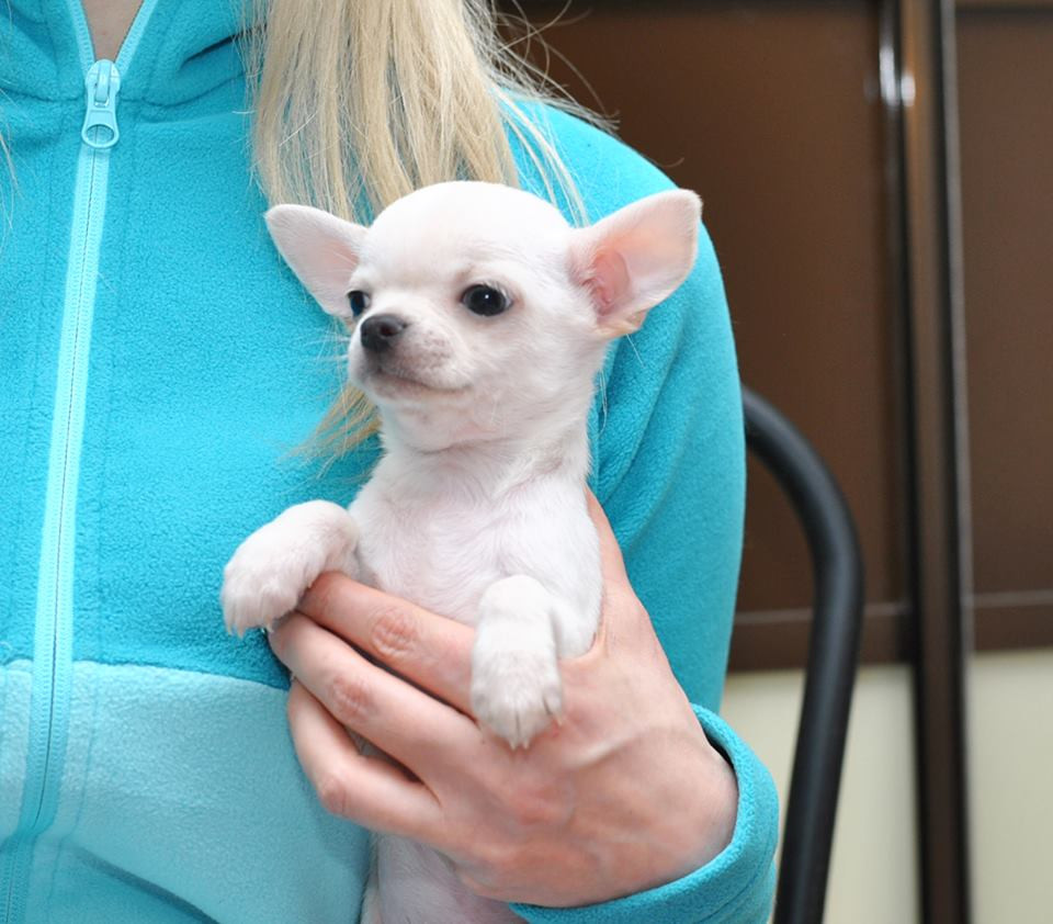 chihuahua puppies for sale in sc chihuahua puppies for sale columbia sc 295981 3444
