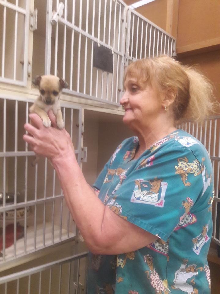 chihuahua puppies for sale in nc chihuahua puppies for sale thomasville nc 296275 9928