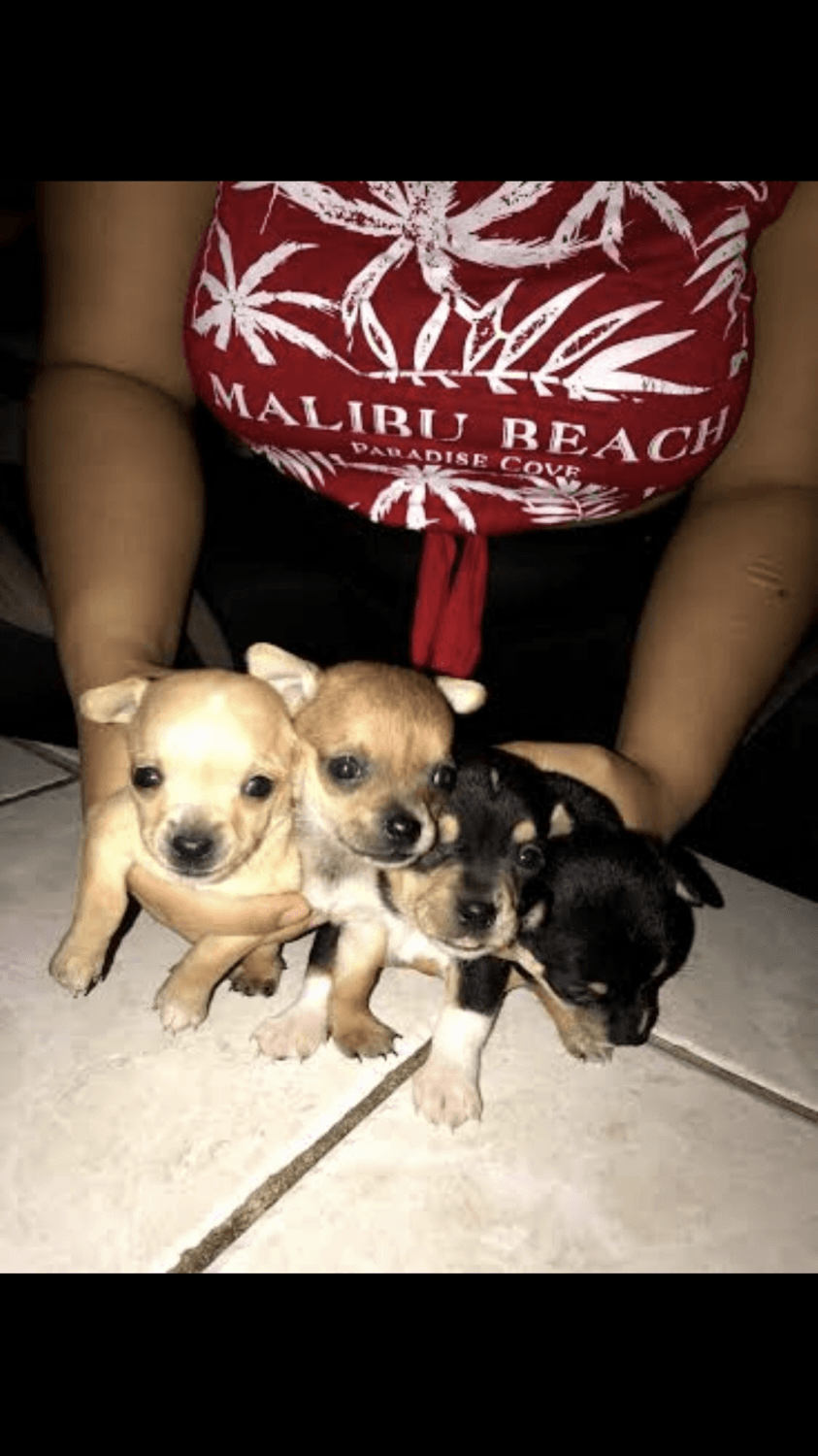 chihuahua puppies for sale in nc chihuahua puppies for sale thomasville nc 296642 4834