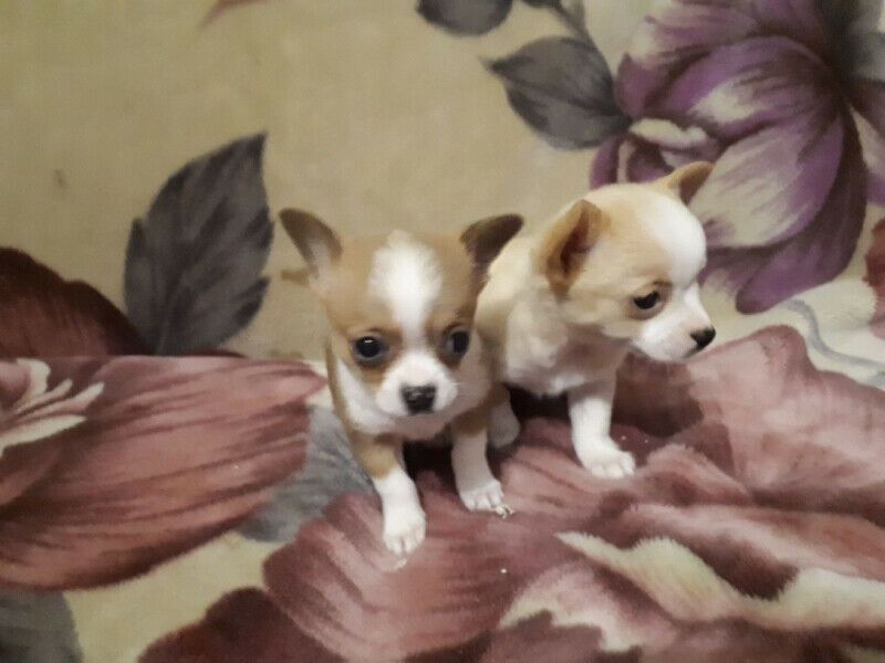 chihuahua puppies for sale in sc chihuahua puppies for sale columbia sc 296996 2107