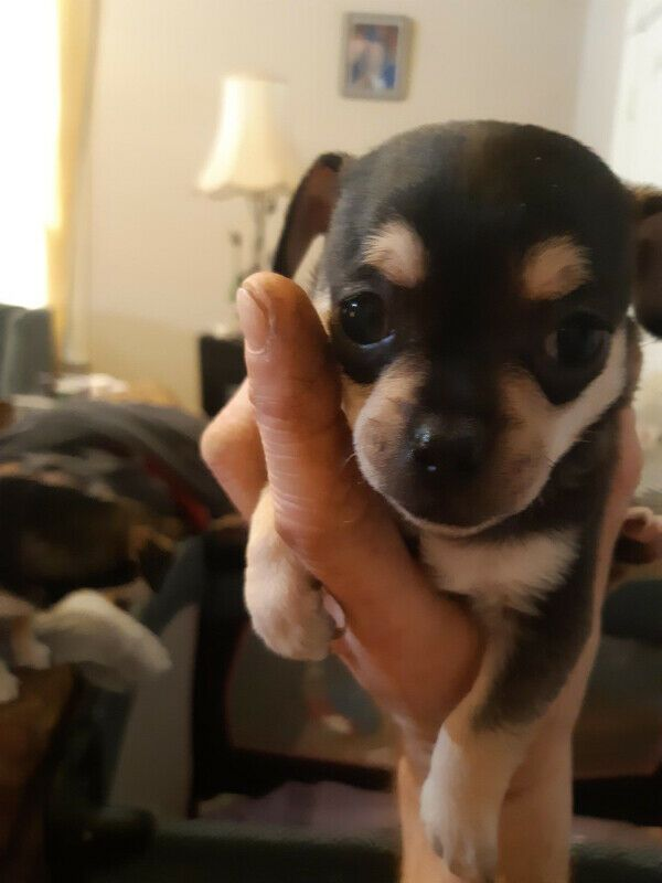 chihuahua puppies for sale in sc chihuahua puppies for sale columbia sc 296996 841