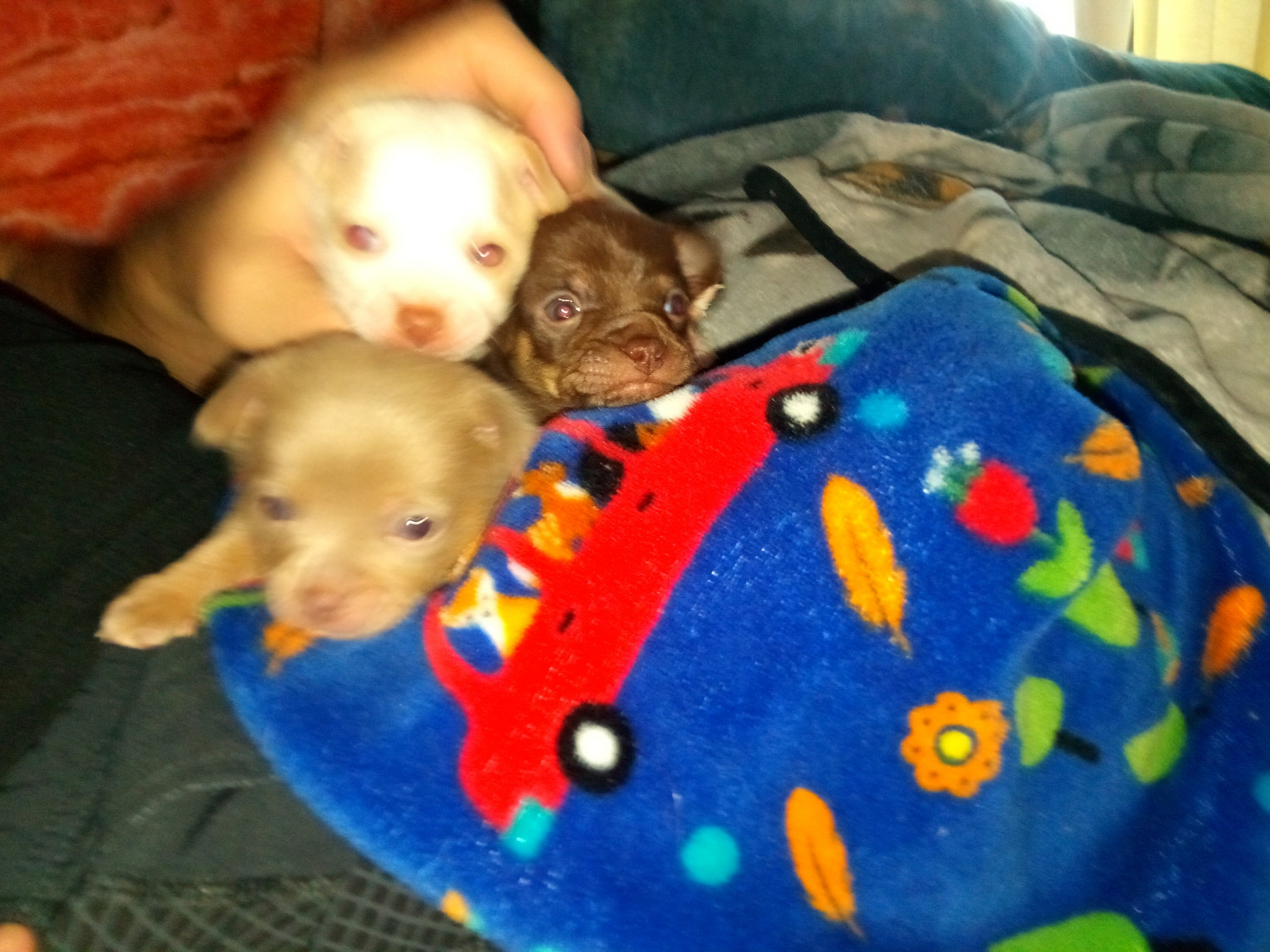 chihuahua puppies for sale in sc chihuahua puppies for sale boiling springs sc 297832 6946