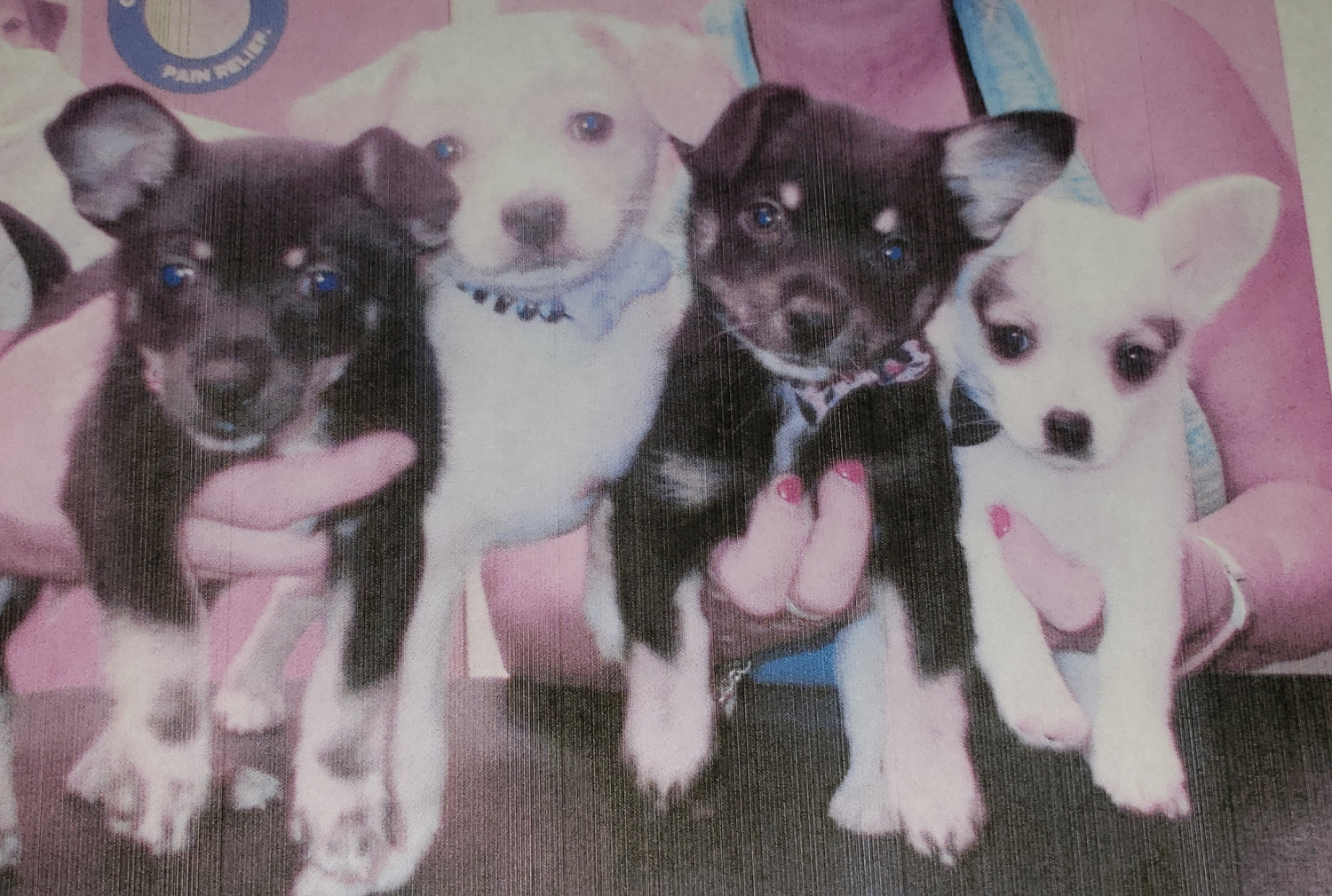 chihuahua puppies for sale in nc chihuahua puppies for sale youngsville nc 302510 2262