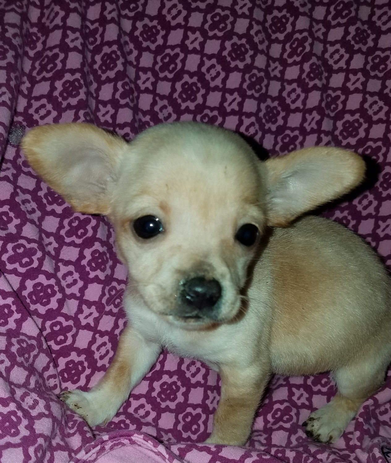Chihuahua Puppies For Sale In Michigan - Cenfesse