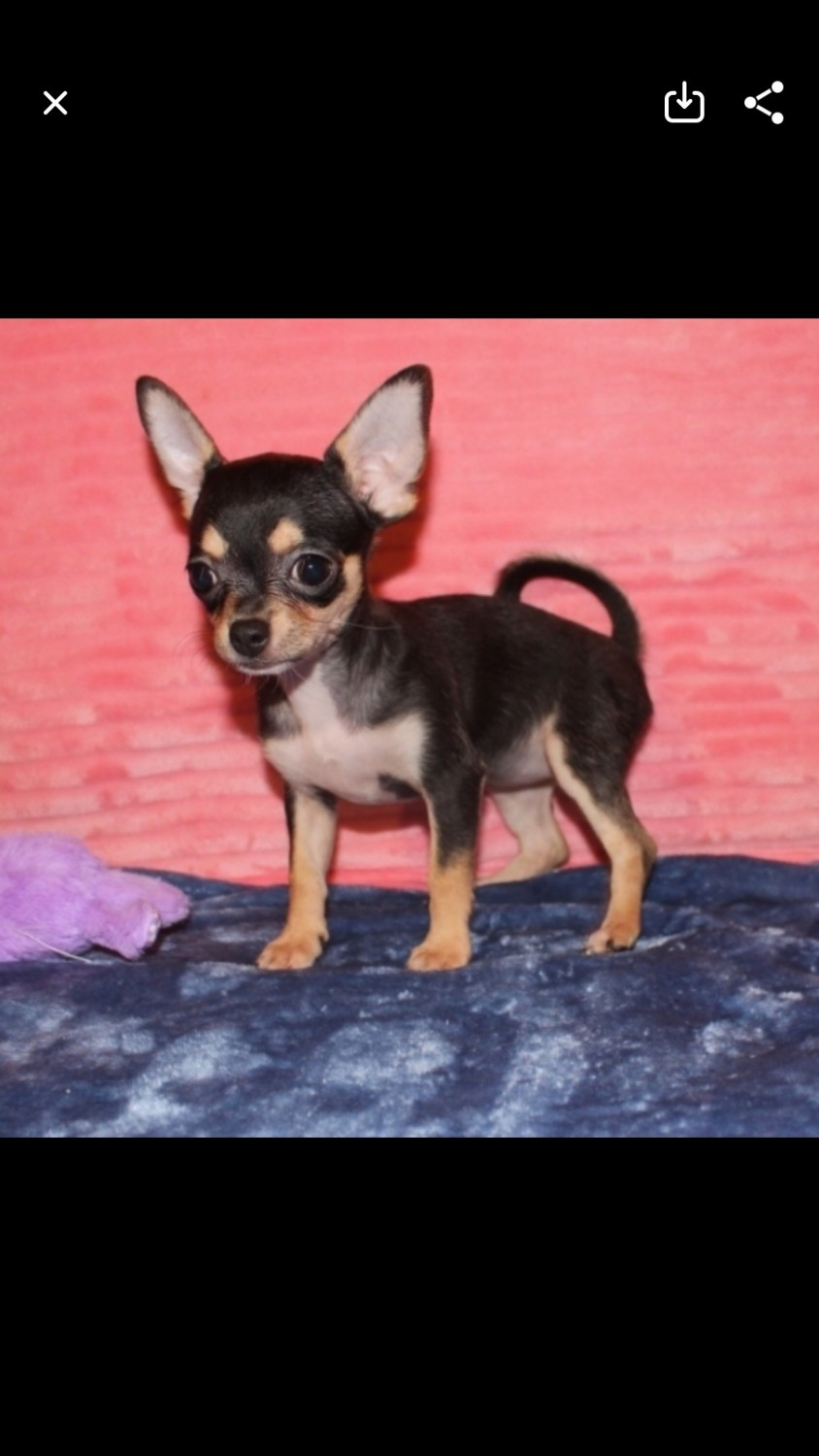 Chihuahua Puppies For Sale | Oklahoma City, OK #323596