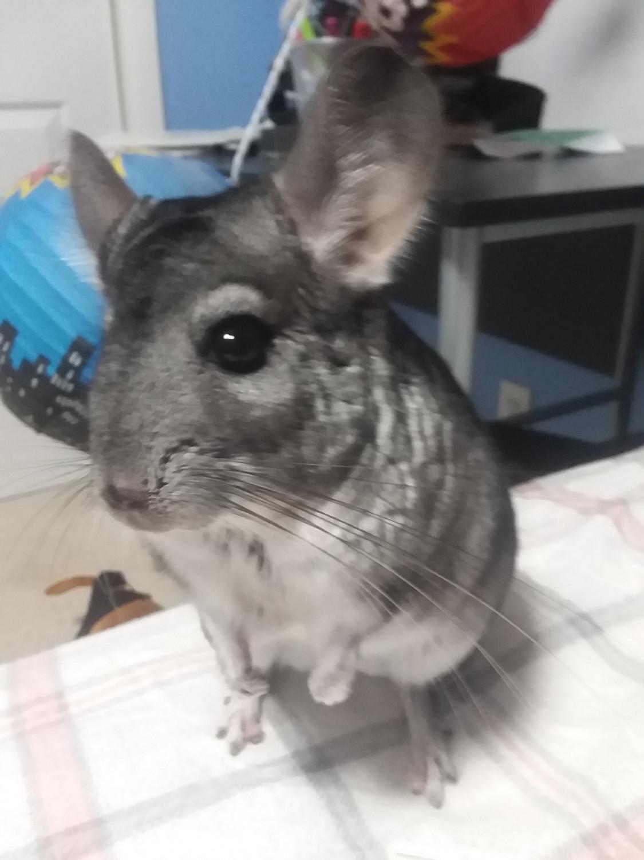 Chinchilla For Sale >> Chinchilla Rodents For Sale Johnson City Tn 302170
