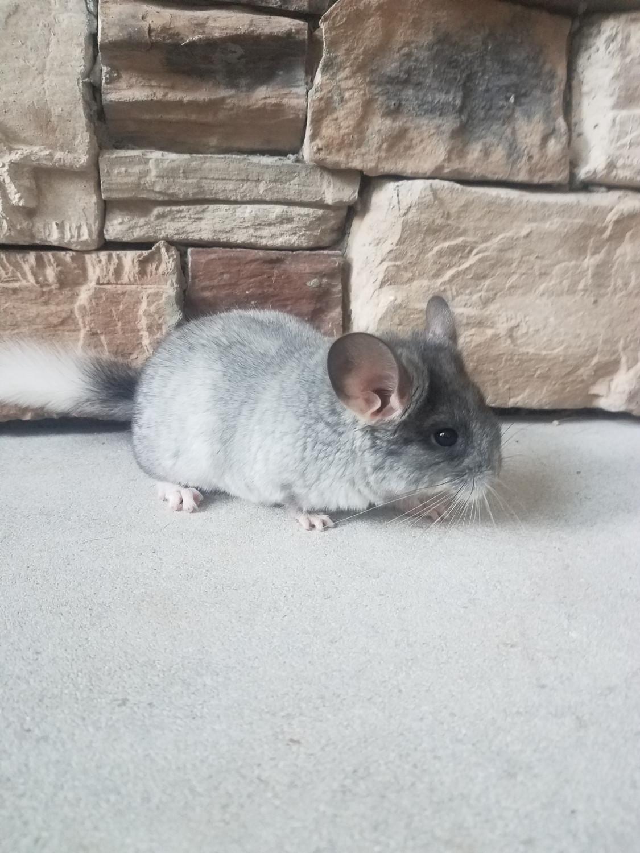 Chinchilla For Sale >> Chinchilla Rodents For Sale Noblesville In 302456
