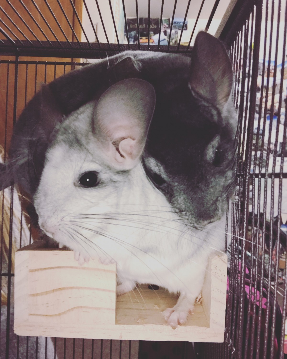 Chinchilla For Sale >> Chinchilla Rodents For Sale Whitewater Wi 307606