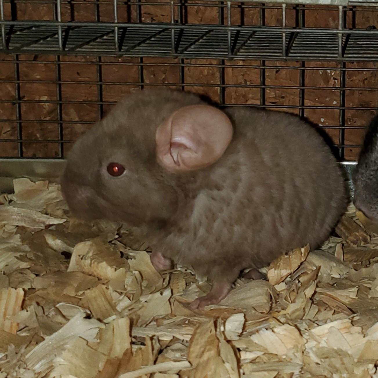 Chinchilla For Sale >> Chinchilla Rodents For Sale Augusta Ga 309516