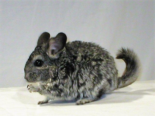 Chinchilla For Sale >> Chinchilla Rodents For Sale Mooresville Nc 317710