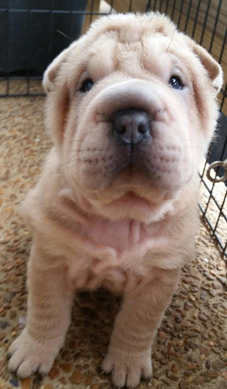 Chinese Shar Pei Puppies For Sale Nashville Tn 180726
