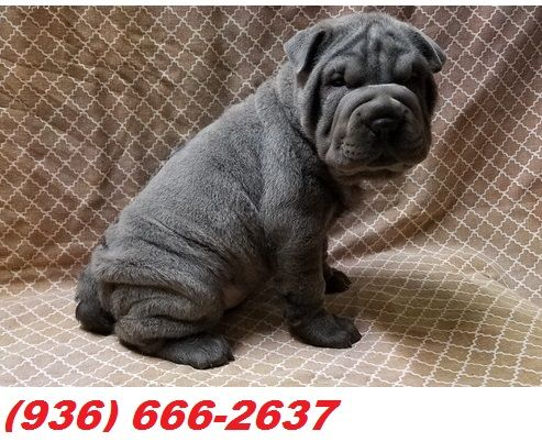 Chinese Shar Pei Puppies For Sale Castle Rock Mn 252406