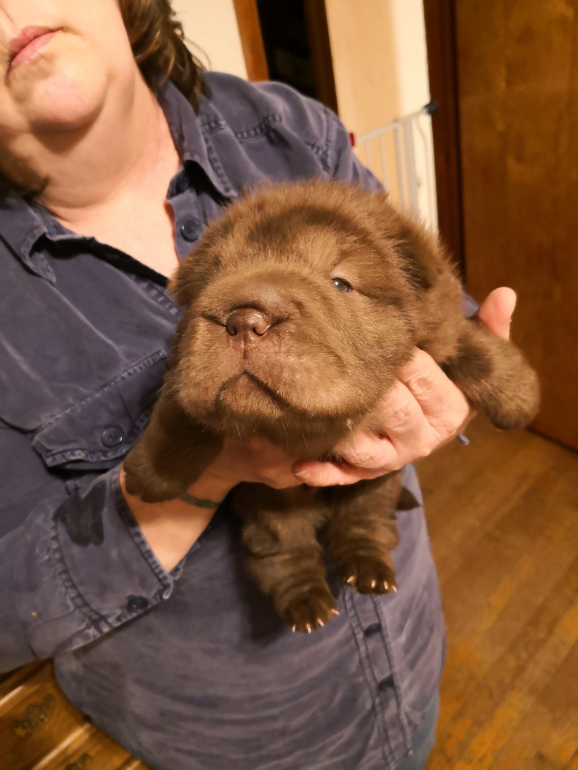 Chinese Shar Pei Puppies For Sale | New Eagle, PA #289980