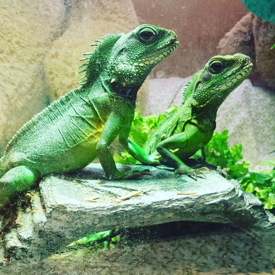 Chinese Water Dragon Reptiles For Sale Flint Mi 98433