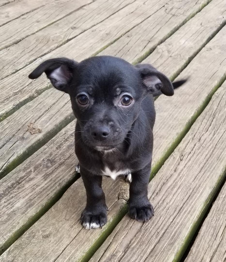 Chiweenie Puppies For Sale   Zion, IL #315873   Petzlover