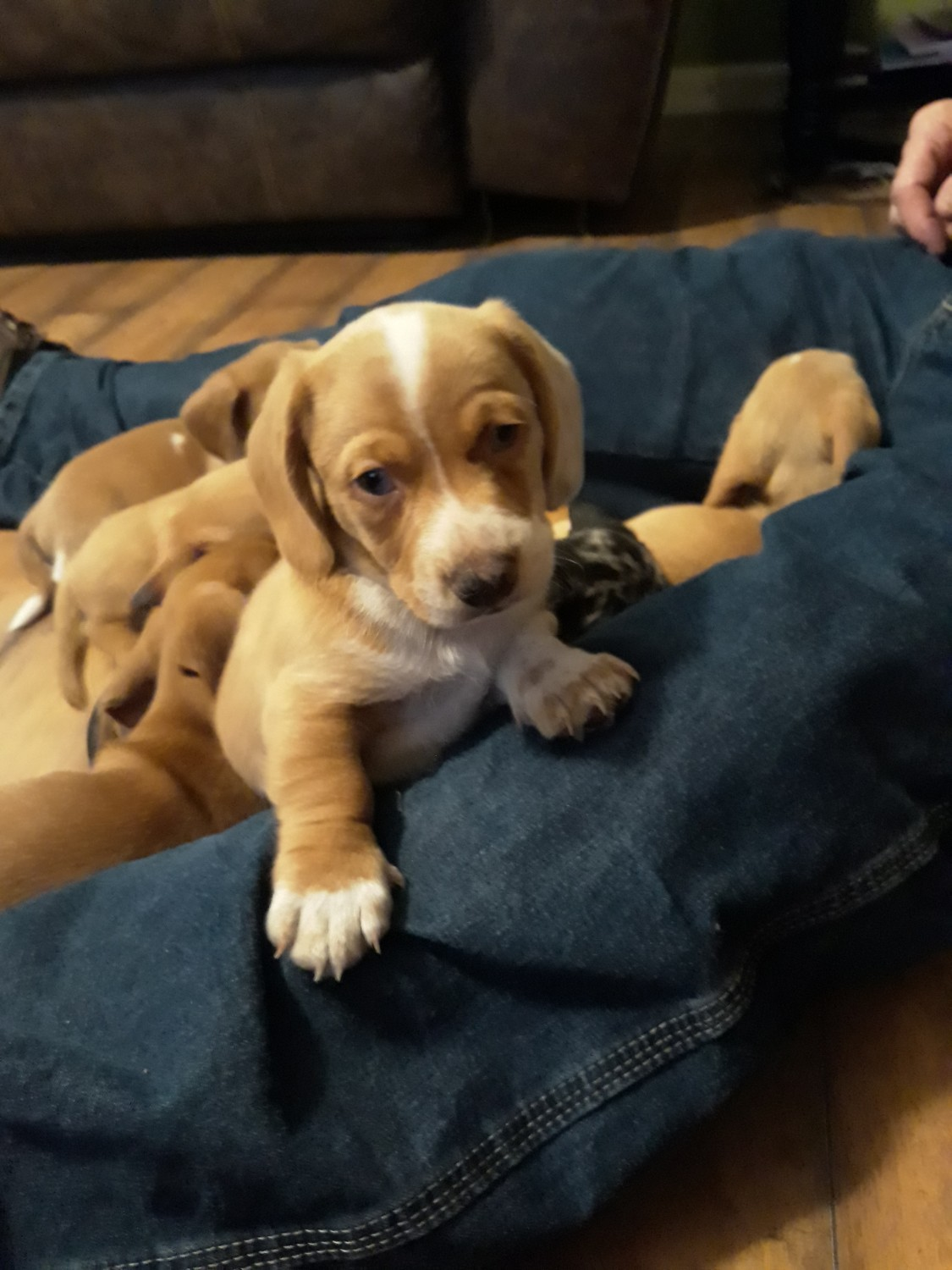 Chiweenie Puppies For Sale Shelby Nc 318663 Petzlover