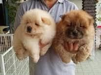 Chow Chow Puppies For Sale Colorado Springs Co 101899