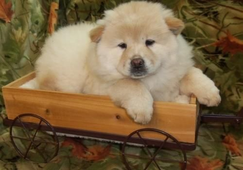 Chow Chow Puppies For Sale Philadelphia Pa 110537