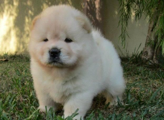 Chow Chow Puppies For Sale | Thornton, CO #153349