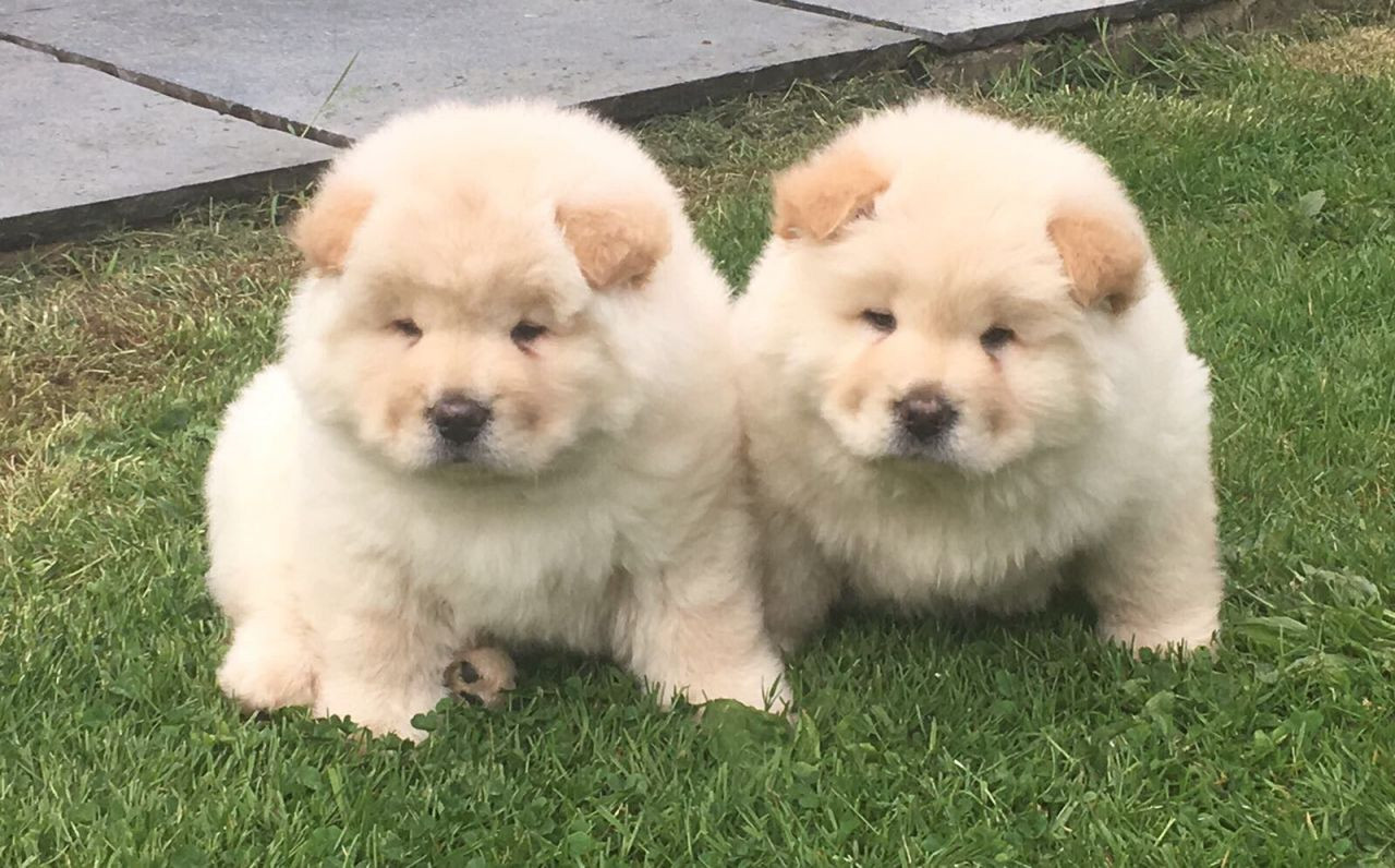 View Ad: Chow Chow Puppy For Sale In Greece