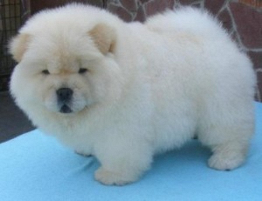 Chow Chow Puppies For Sale   Texas City, TX #272729