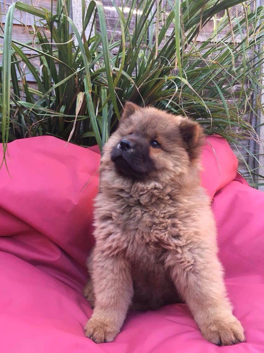 Chow Chow Puppies For Sale Pittsburgh Pa 280076