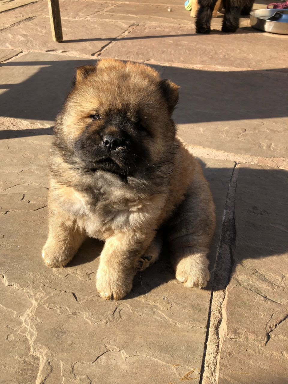 Chow Chow Puppies For Sale Pittsburgh Pa 280427