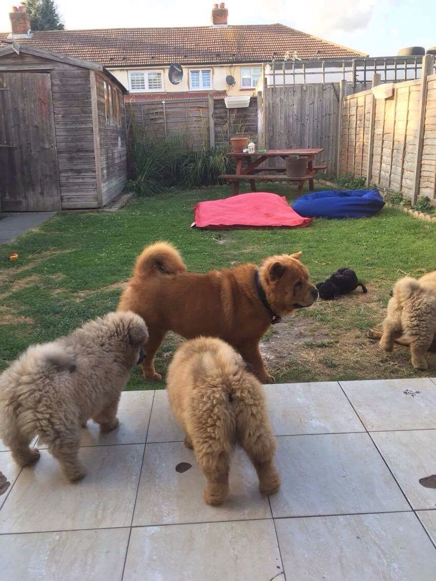 Chow Chow Puppies For Sale Pittsburgh Pa 280566