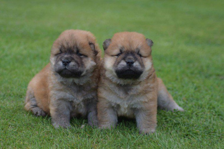 Chow Chow Puppies For Sale Pittsburgh Pa 281212
