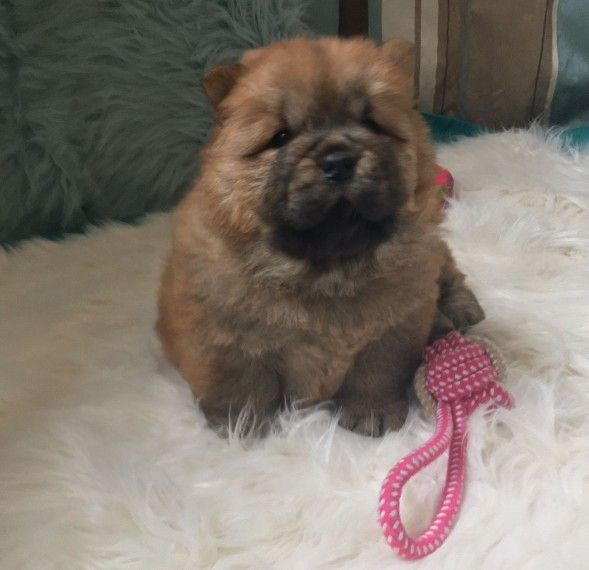 Chow Chow Puppies For Sale Pittsburgh Pa 282788