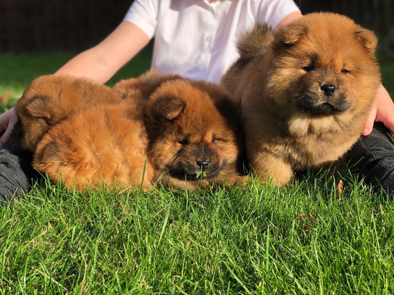 Chow Chow Puppies For Sale Pittsburgh Pa 284222