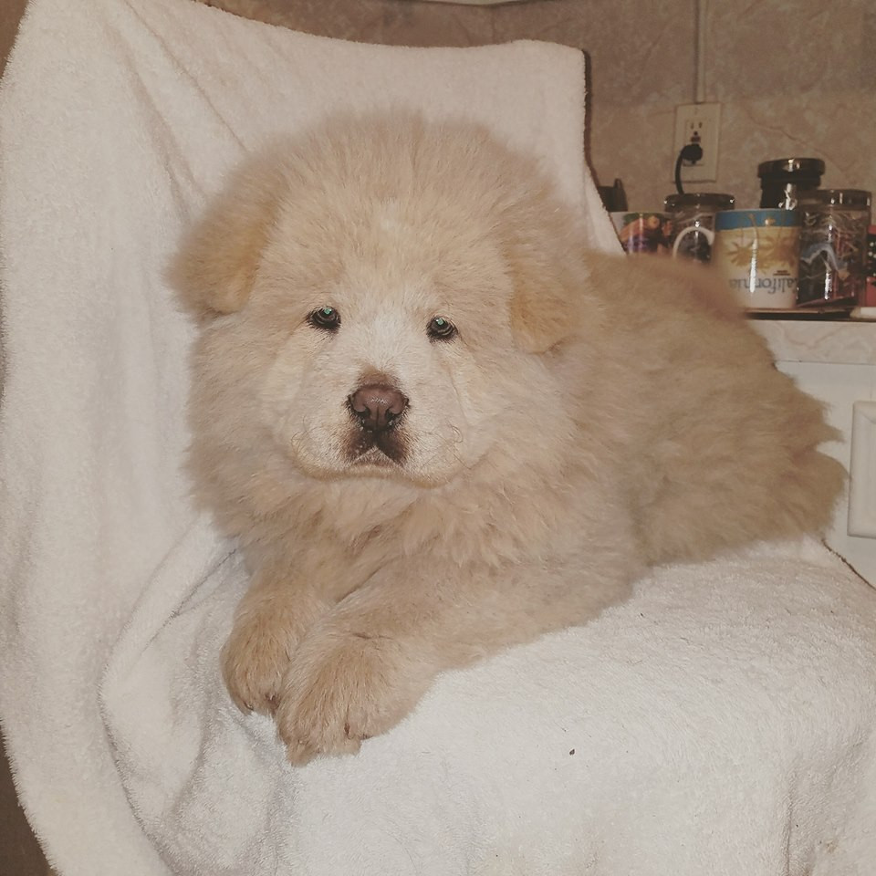 Chow Chow Puppies For Sale Colorado Springs Co 241416