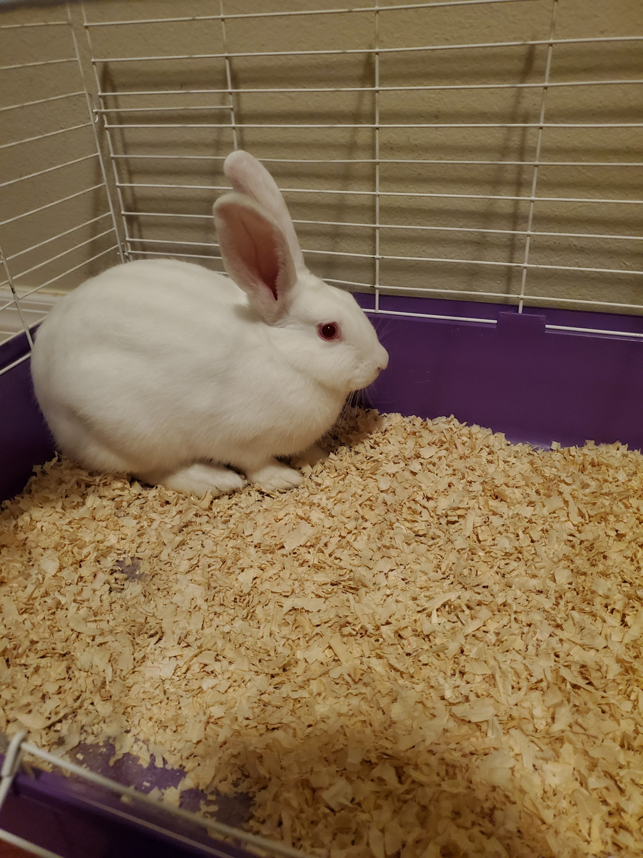 Cinnamon Rabbit Rabbits For Sale Orlando Fl 304062