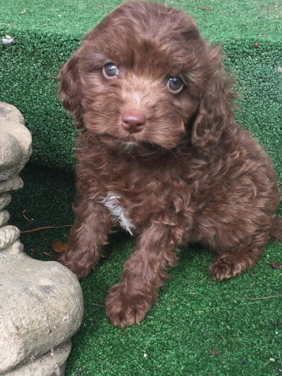 Peekapoo Puppies For Sale In Texas - Goldenacresdogscom-4769